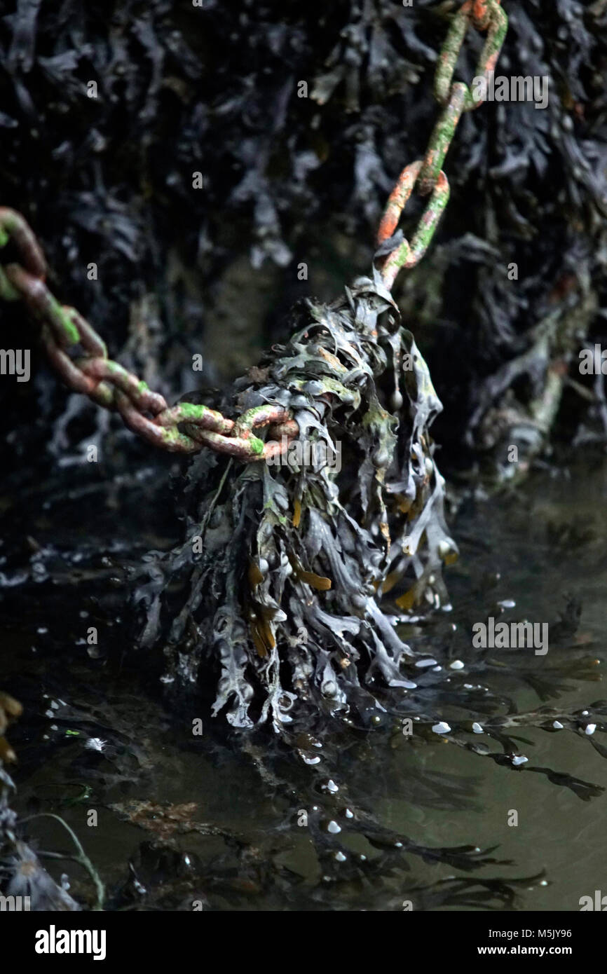 seaweed hanging on to mooring chain - Stock Image