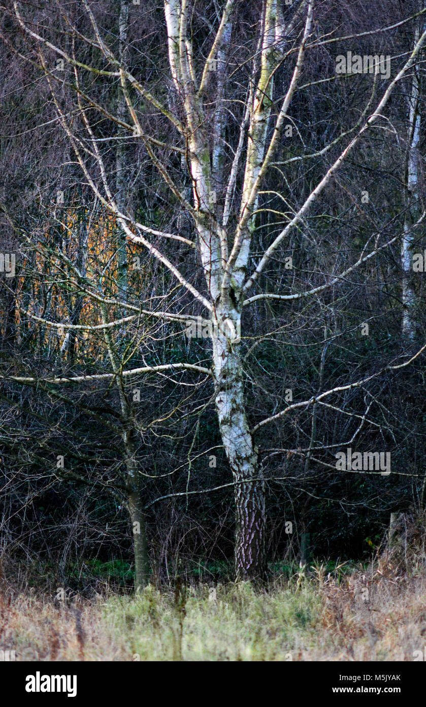 bare tree on the edge of a wood in winter - Stock Image