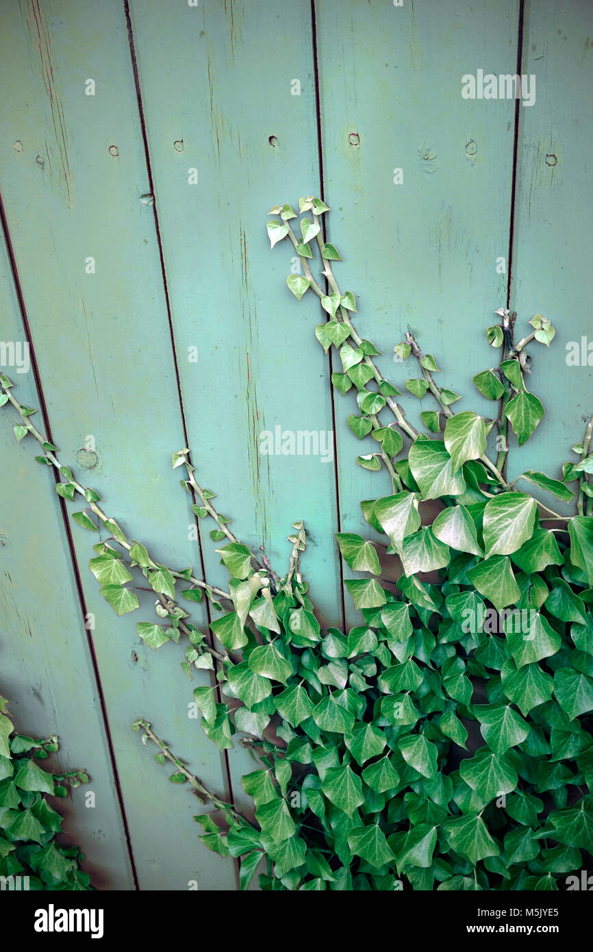 ivy growing over old shed door - Stock Image