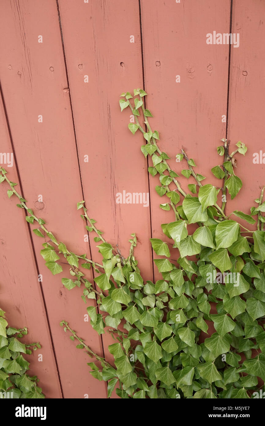 ivy growing up side of wooden shed - Stock Image