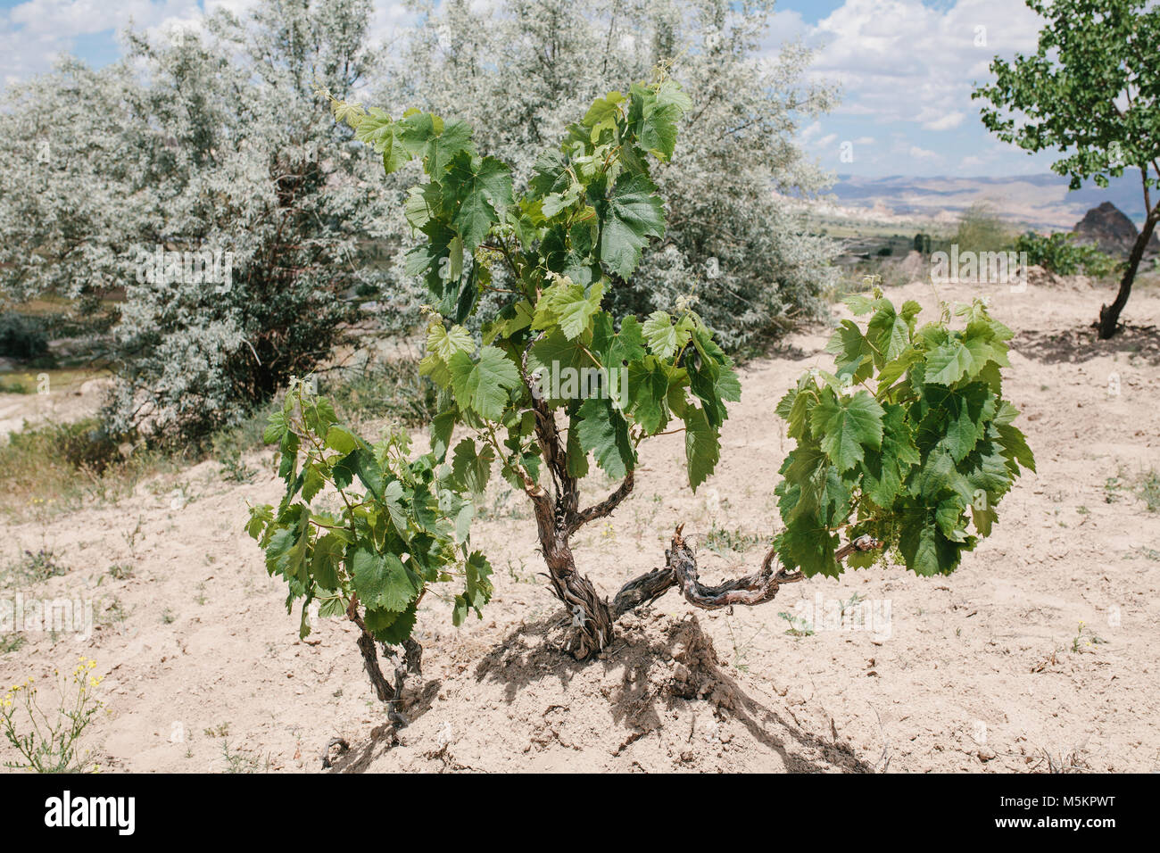 Bush of grapes grows on hill in the background of trees on sunny summer day. Grape bush grows - Stock Image