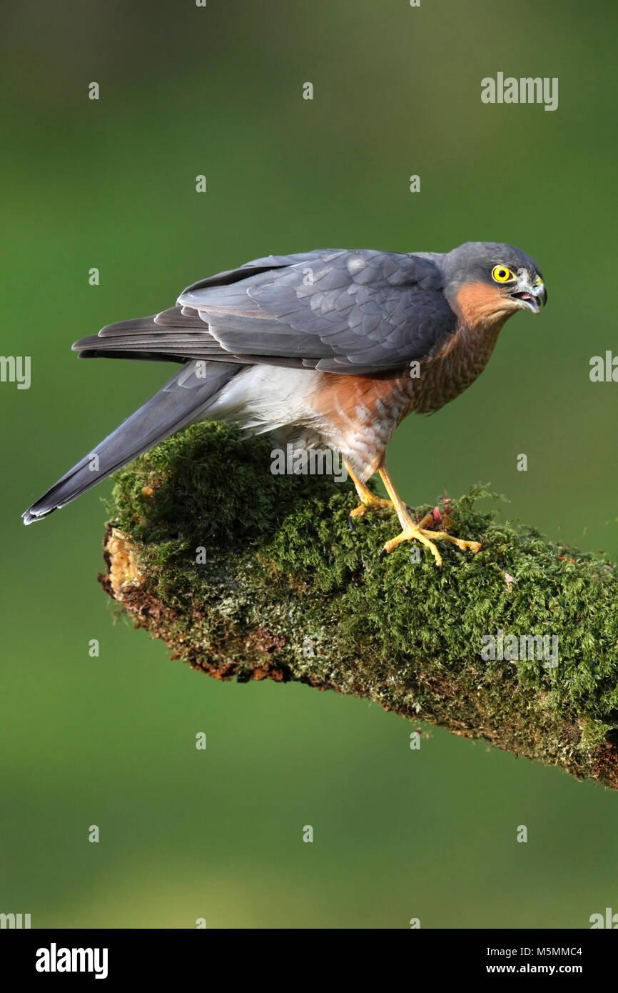 sparrowhawk-accipiter-nisus-M5MMC4.jpg