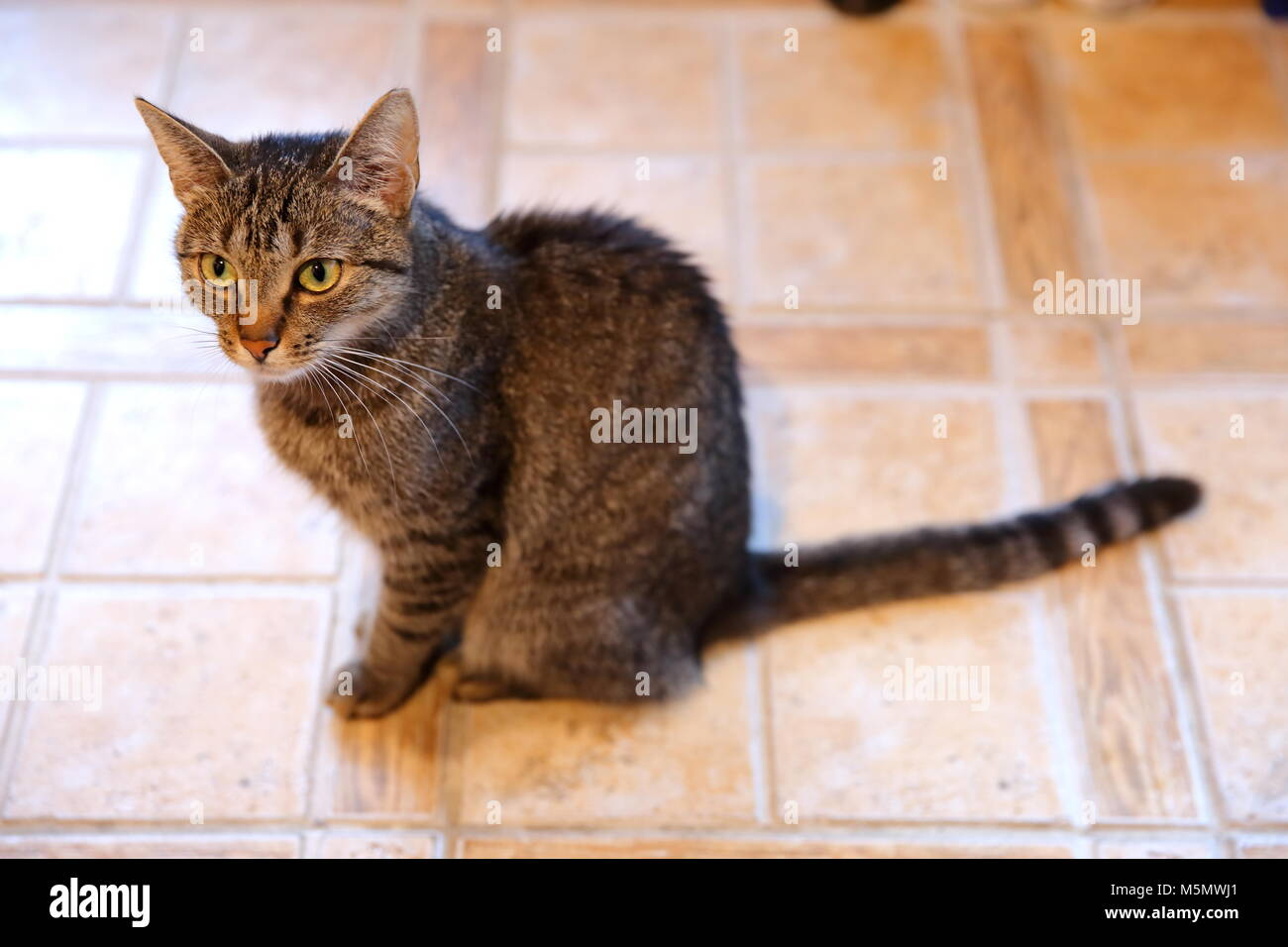 A cat is an animal that always walks its own paths and it does not matter whether it is a pure rooster or an ordinary - Stock Image