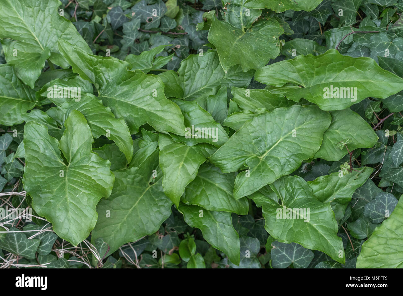 Early foliage of Lords and Ladies / Cuckoopint (Arum maculatum). - Stock Image
