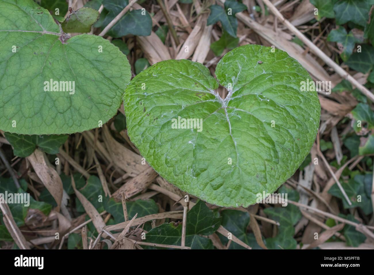 Leaves of Butterbur. Plant formerly used in herbal medicine / folk remedies. - Stock Image