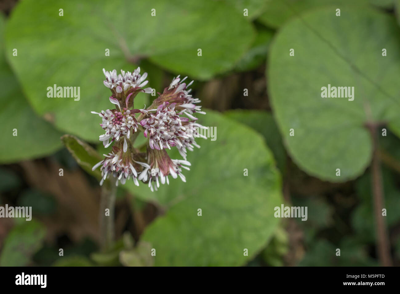 Flwoers and leaves of Butterbur. Plant formerly used in herbal medicine / folk remedies. - Stock Image