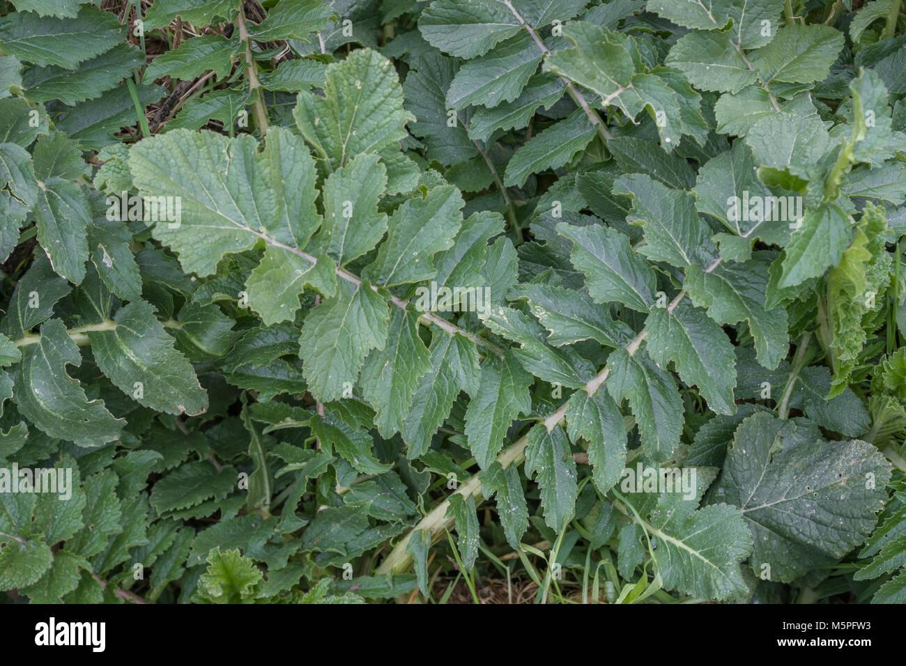 Foliage / leaves of Sea Radish (Cornwall). Foraged leaves have a radishy taste milder than domesticated radish. - Stock Image
