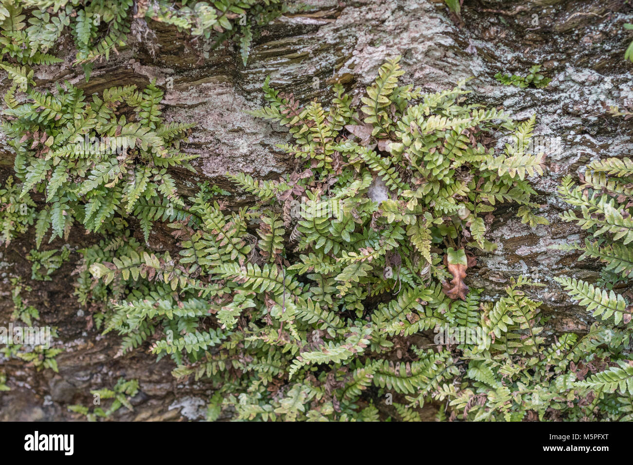 Ferns growing on shoreline cliffs with good freshwater source, in Cornwall. Believed to be Common Polypody (Polypodium - Stock Image
