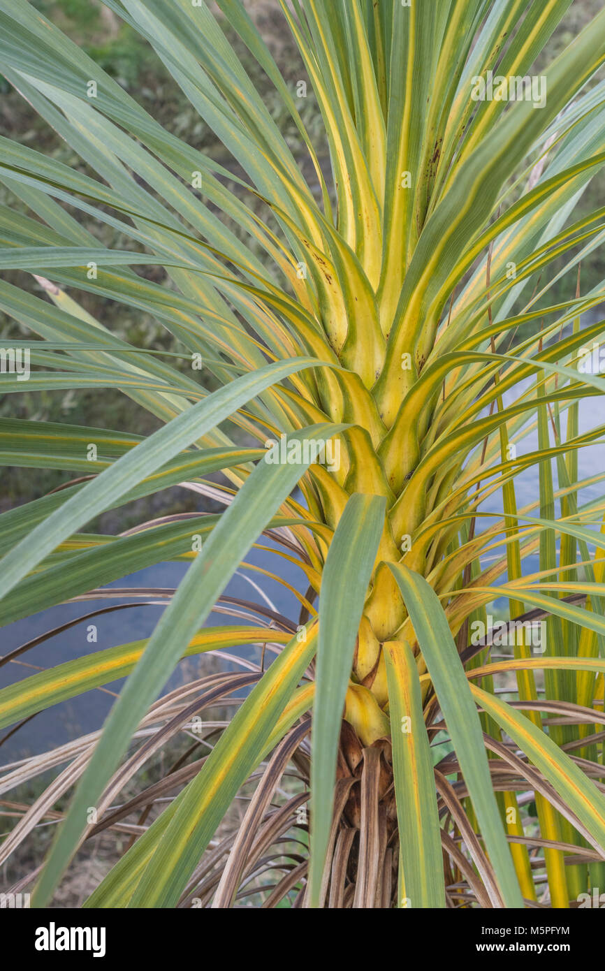 Trunk foliage of a young palm in Cornwall, UK. - Stock Image