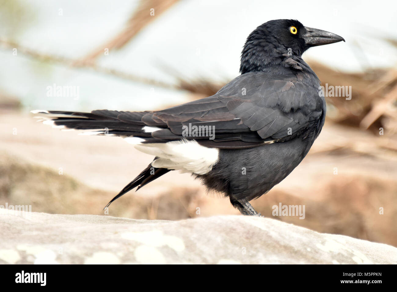 Pied currawong - Stock Image