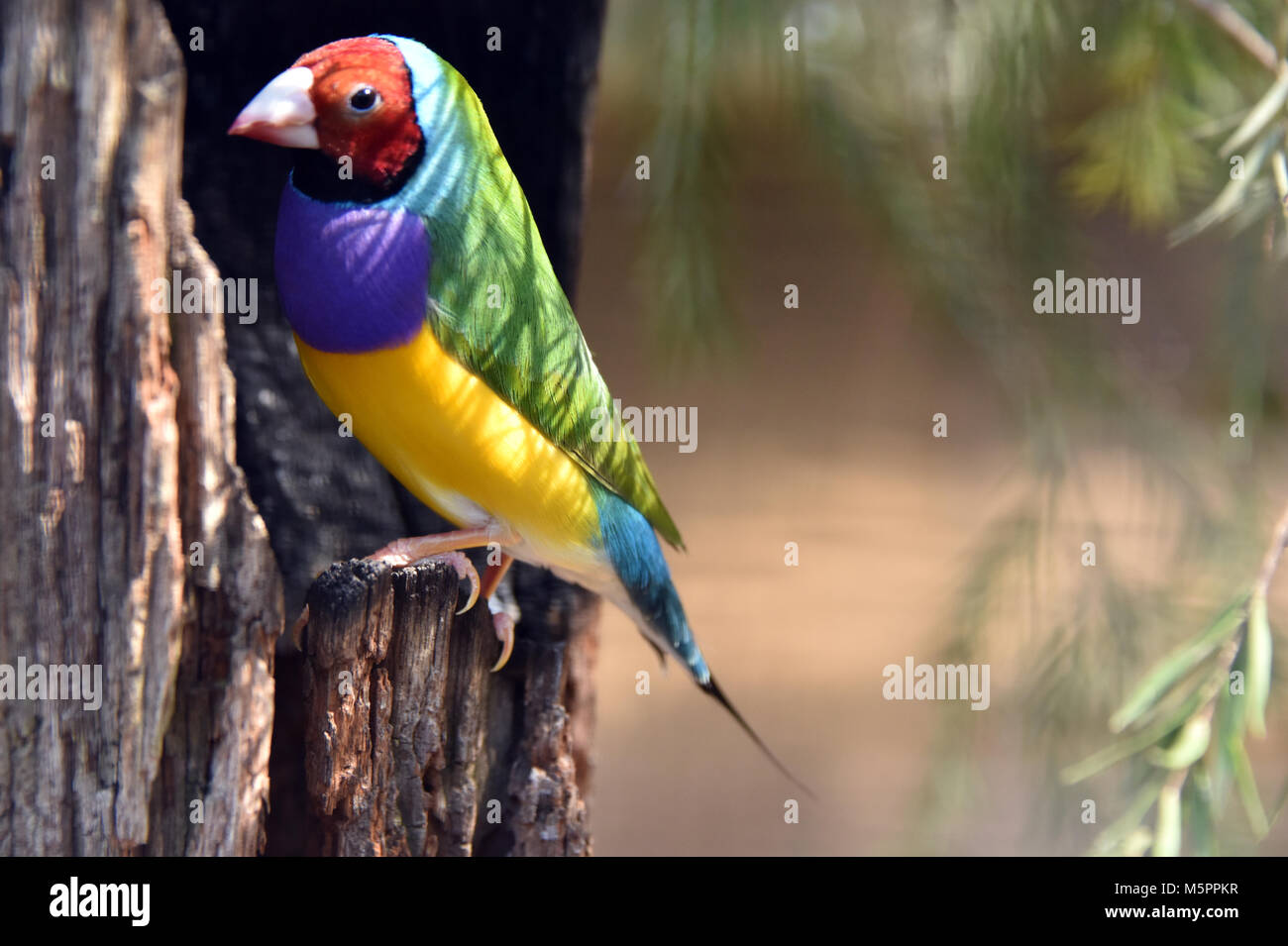 Gouldian finch - Stock Image