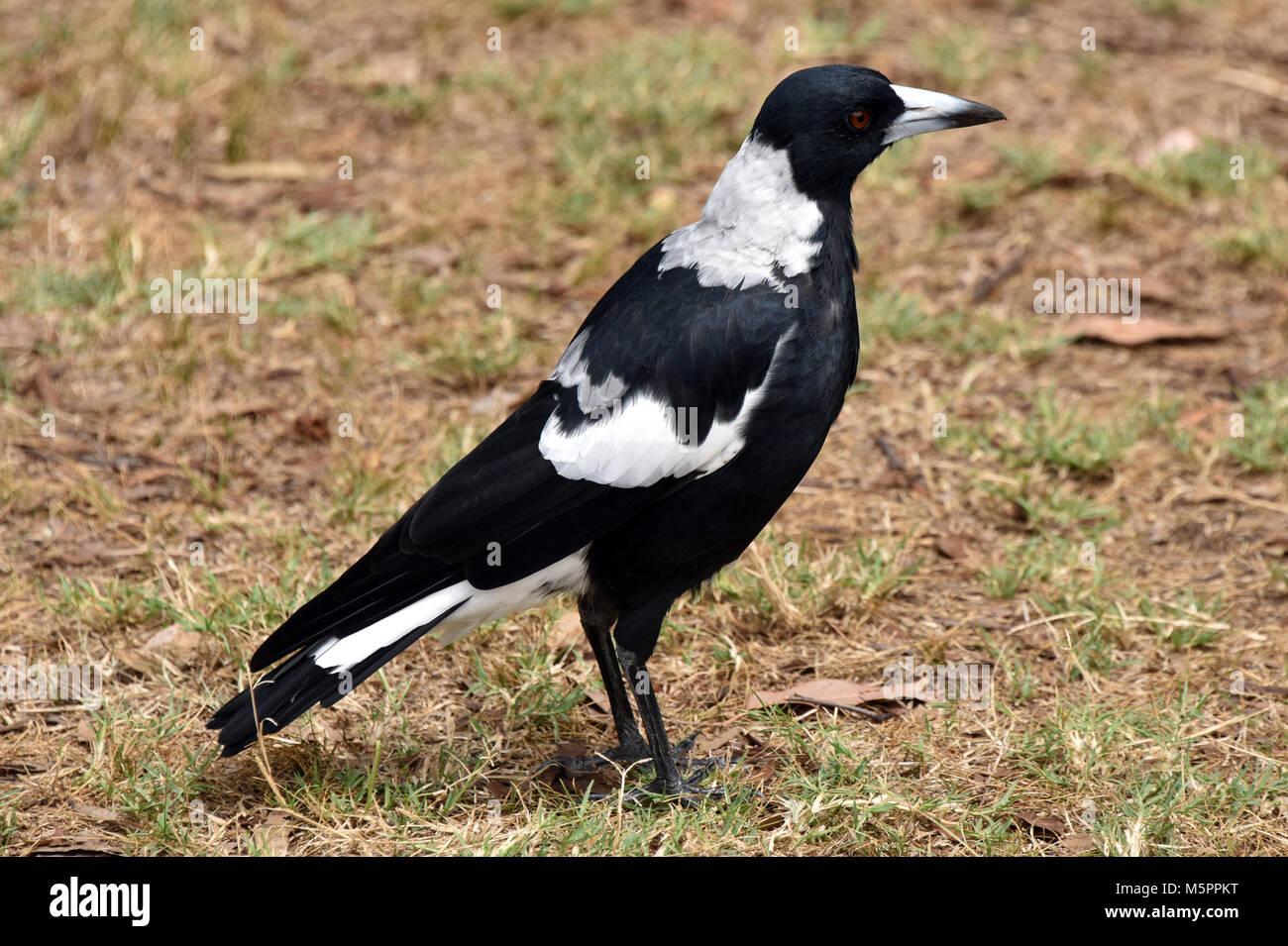 Australian magpie - Stock Image