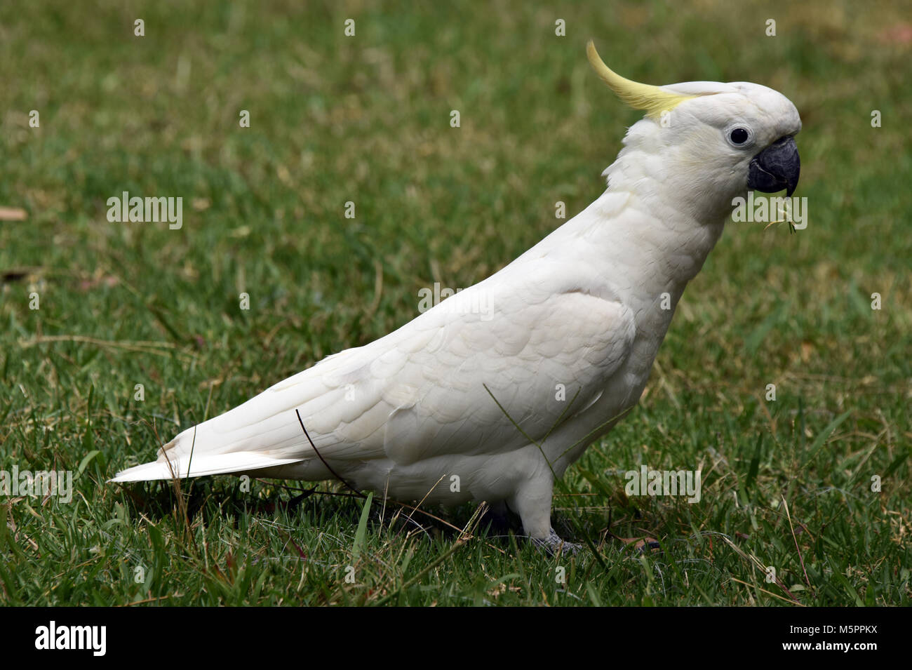 Crested cockatoo - Stock Image
