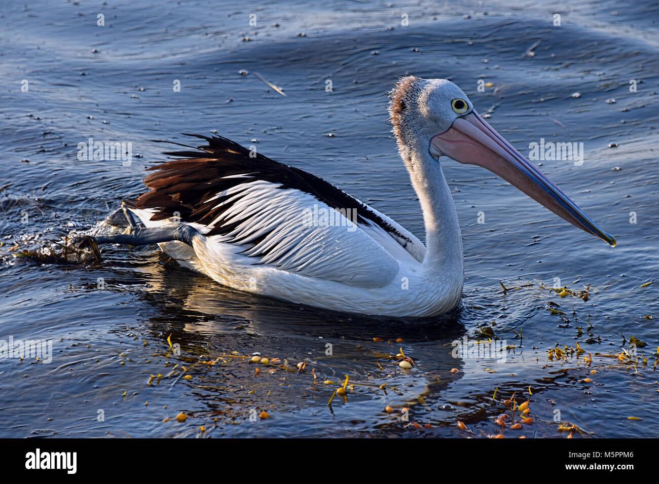 Pelican - Stock Image
