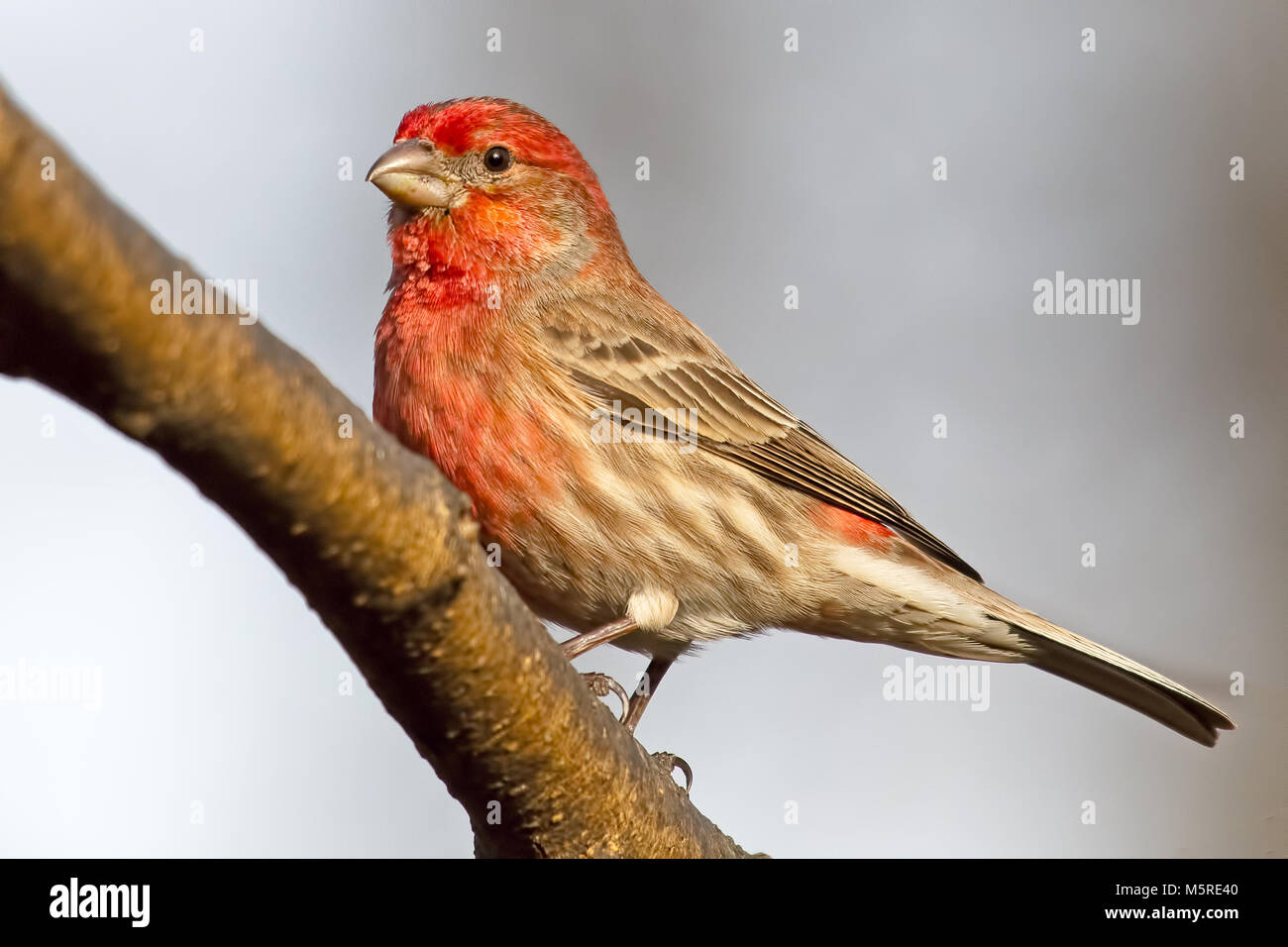 Male House Finch - Stock Image