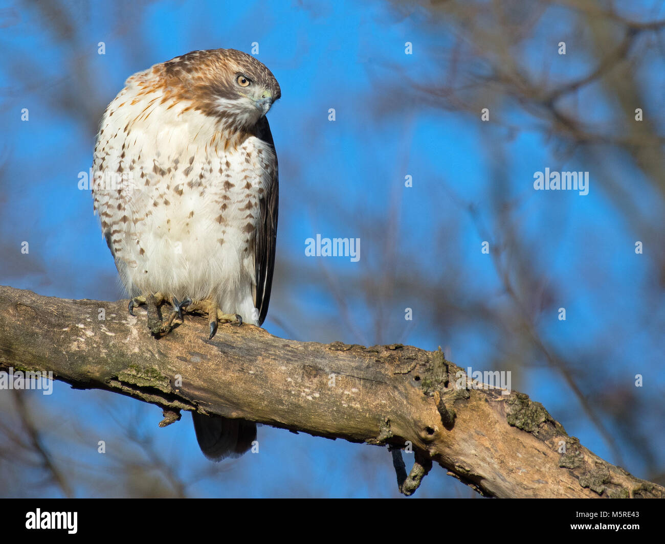 Red-tailed Hawk - Stock Image