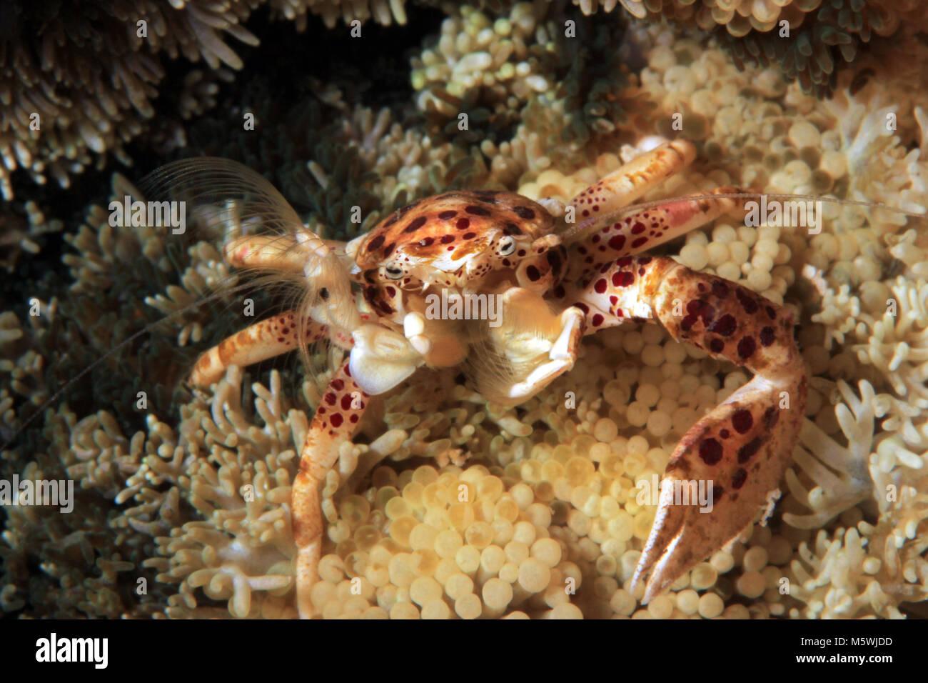 Oshimai Porcelain Crab (aka Anemone Porcelain Crab, Neopetrolisthes oshimai) Filtering the Water for Food. Moalboal, - Stock Image