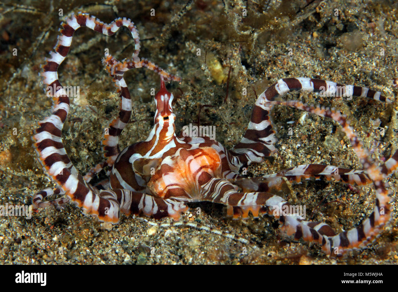 Wonderpus (Wunderpus photogenicus) on Sandy Bottom. Anilao, Philippines - Stock Image