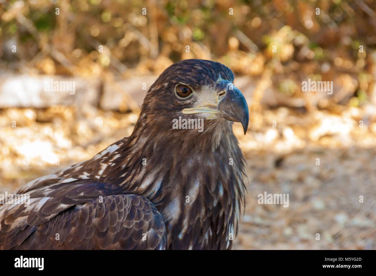 Head of a falcon bird with a huge beak close-up. Hawk close up. - Stock Image
