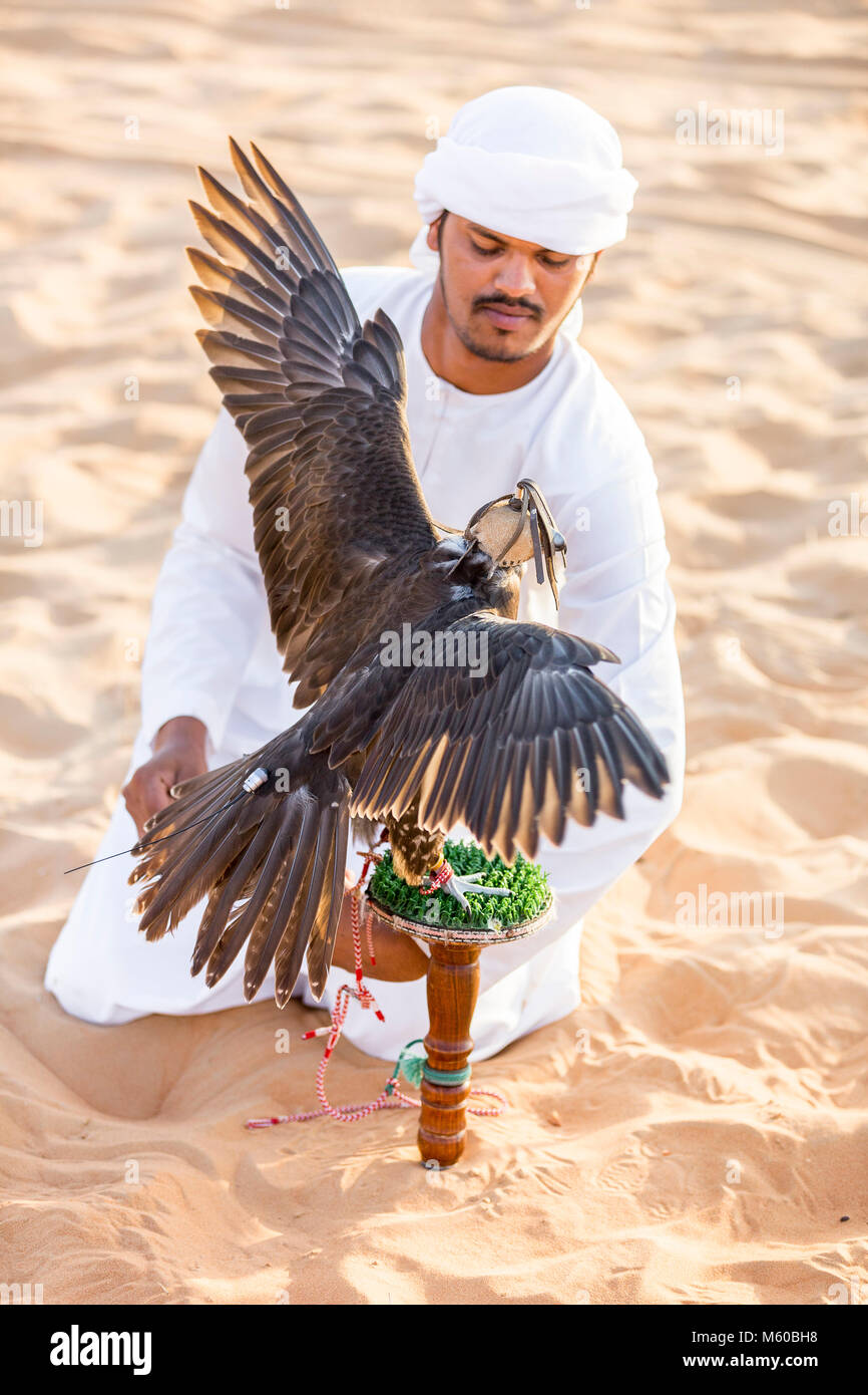 Saker Falcon (Falco cherrug). Falconer caring for trained bird on its block in the desert. Abu Dhabi - Stock Image