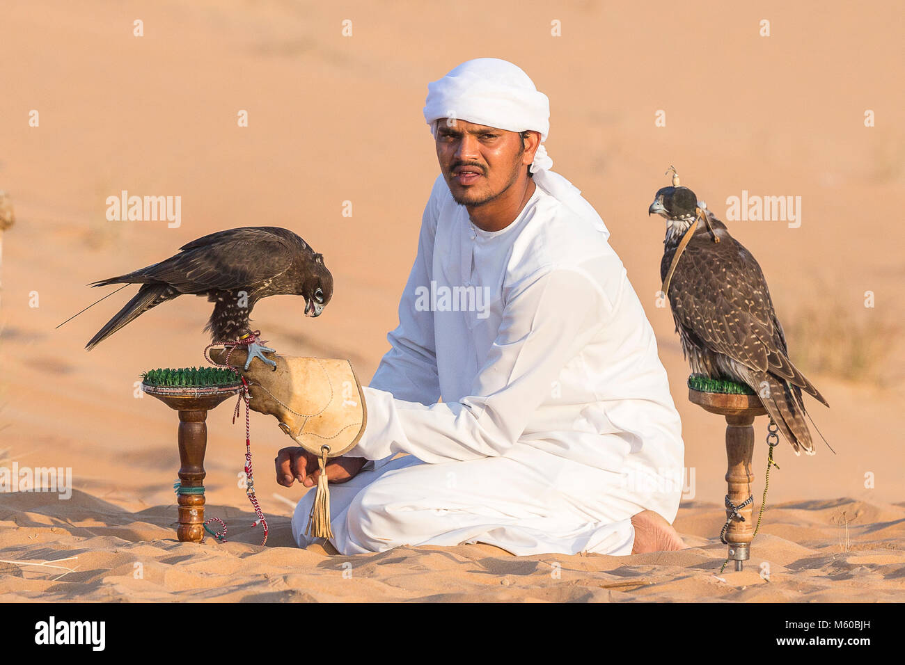 Saker Falcon (Falco cherrug). Falconer caring for trained birds on their blocks in the desert. Abu Dhabi - Stock Image