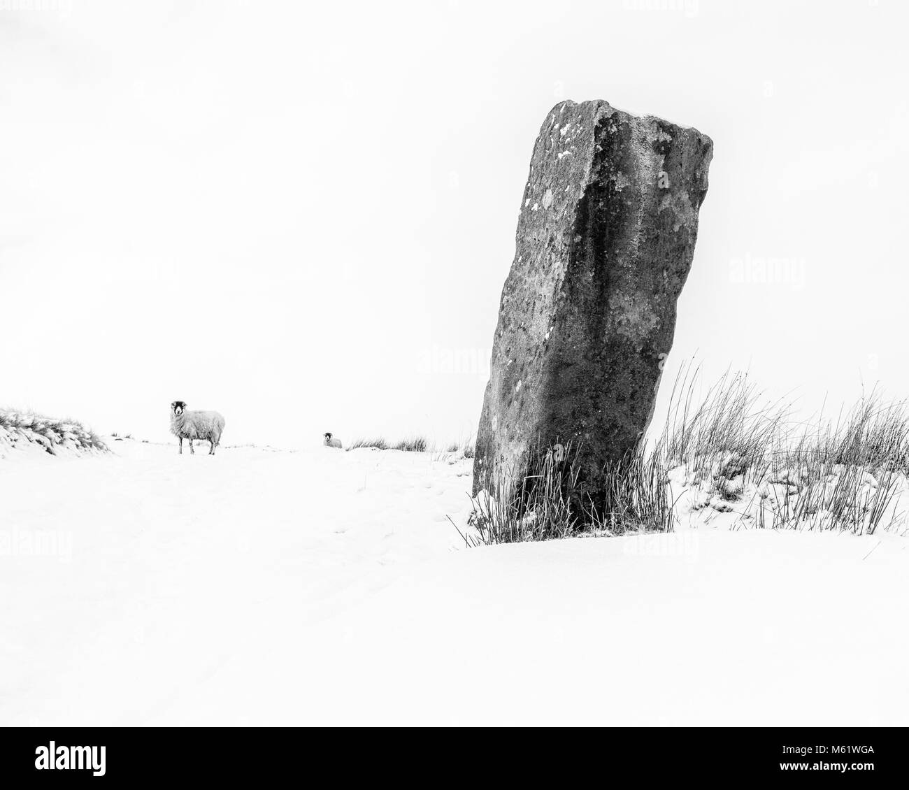 Minimalist monochrome image of a snowy winter scene on the moors with sheep and a gritstone monolith - Stock Image
