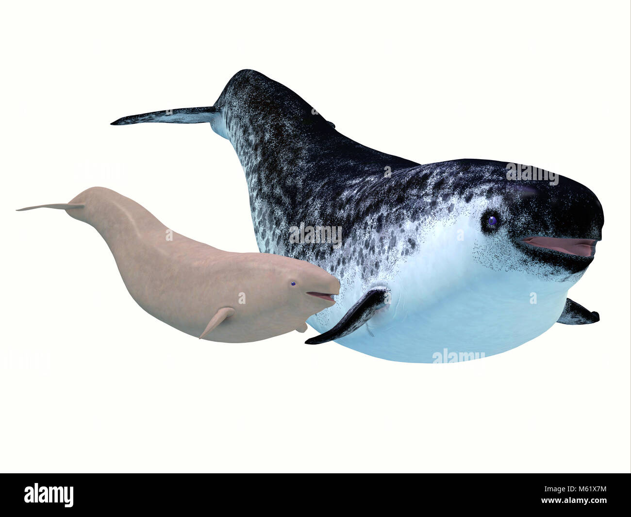 The Narwhal is a medium sized toothed whale that lives in social family pods of several individuals. - Stock Image