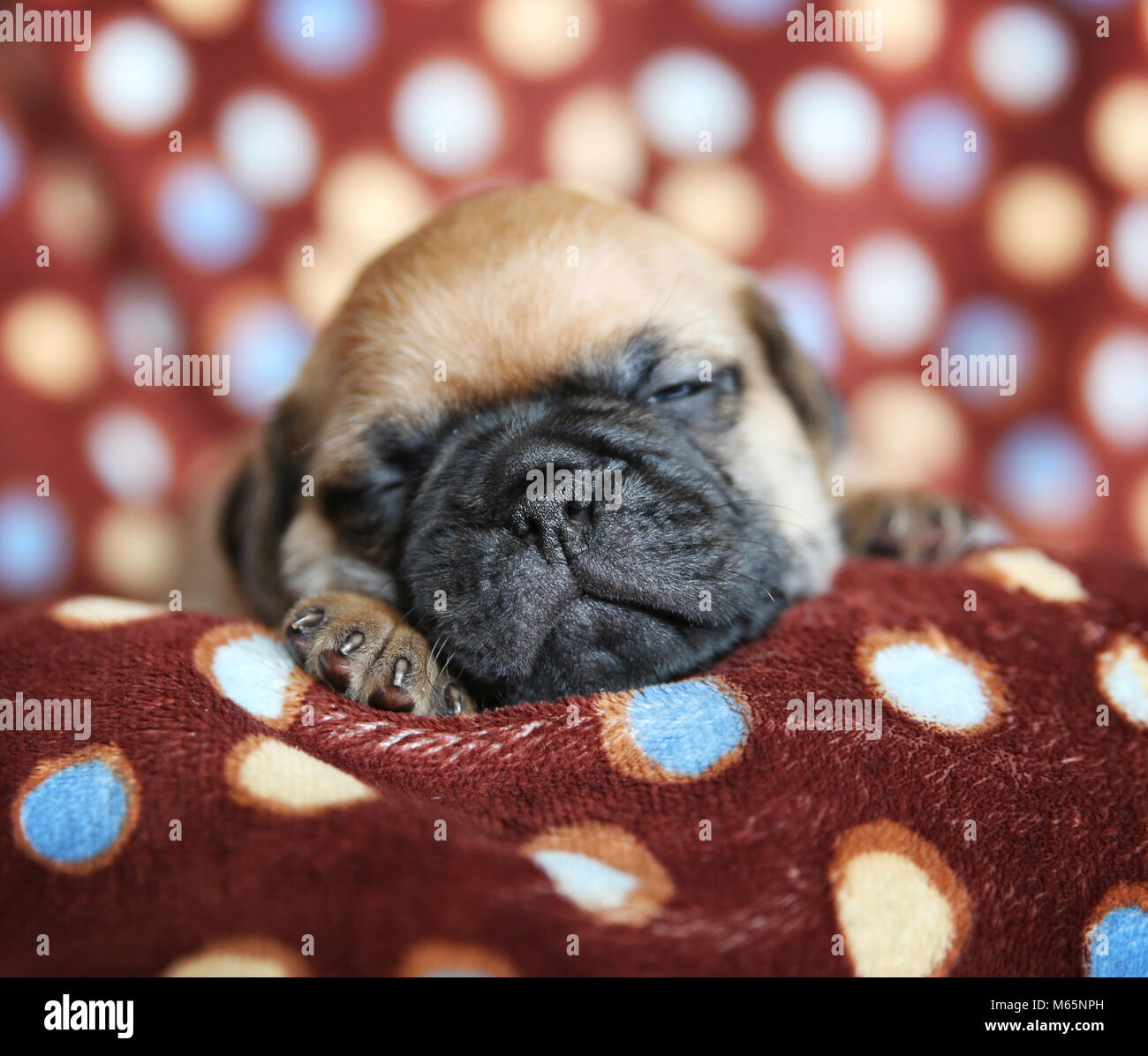 Most Inspiring Chihuahua Chubby Adorable Dog - cute-chug-chihuahua-pug-puppy-in-a-polka-dot-blanket-facing-the-camera-M65NPH  Best Photo Reference_718589  .jpg
