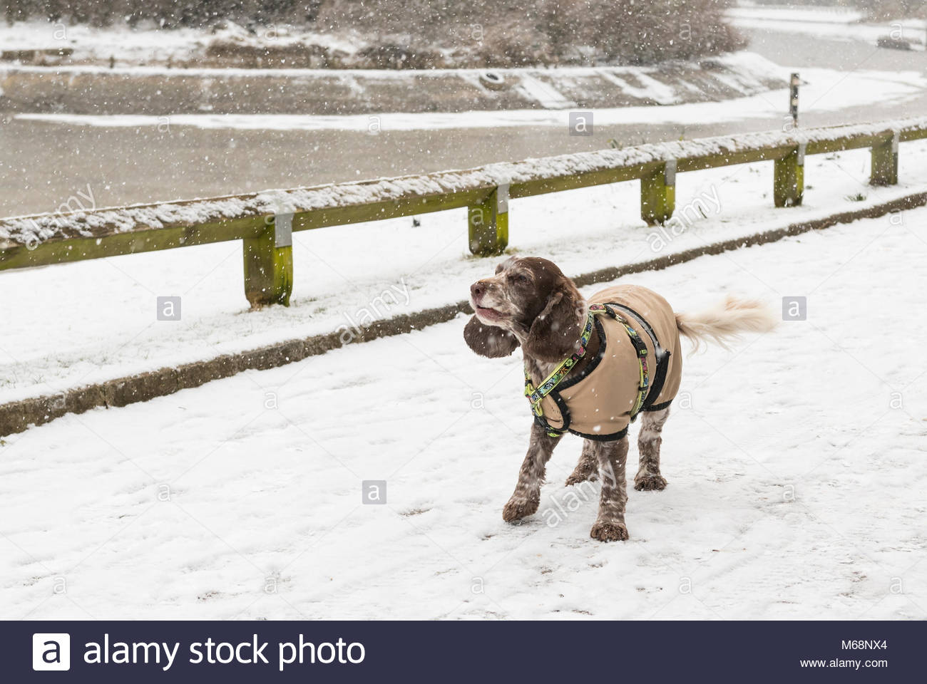 Cold happy dog in the snow wearing a coat, wagging it's tail in the park while snowing in Winter. - Stock Image