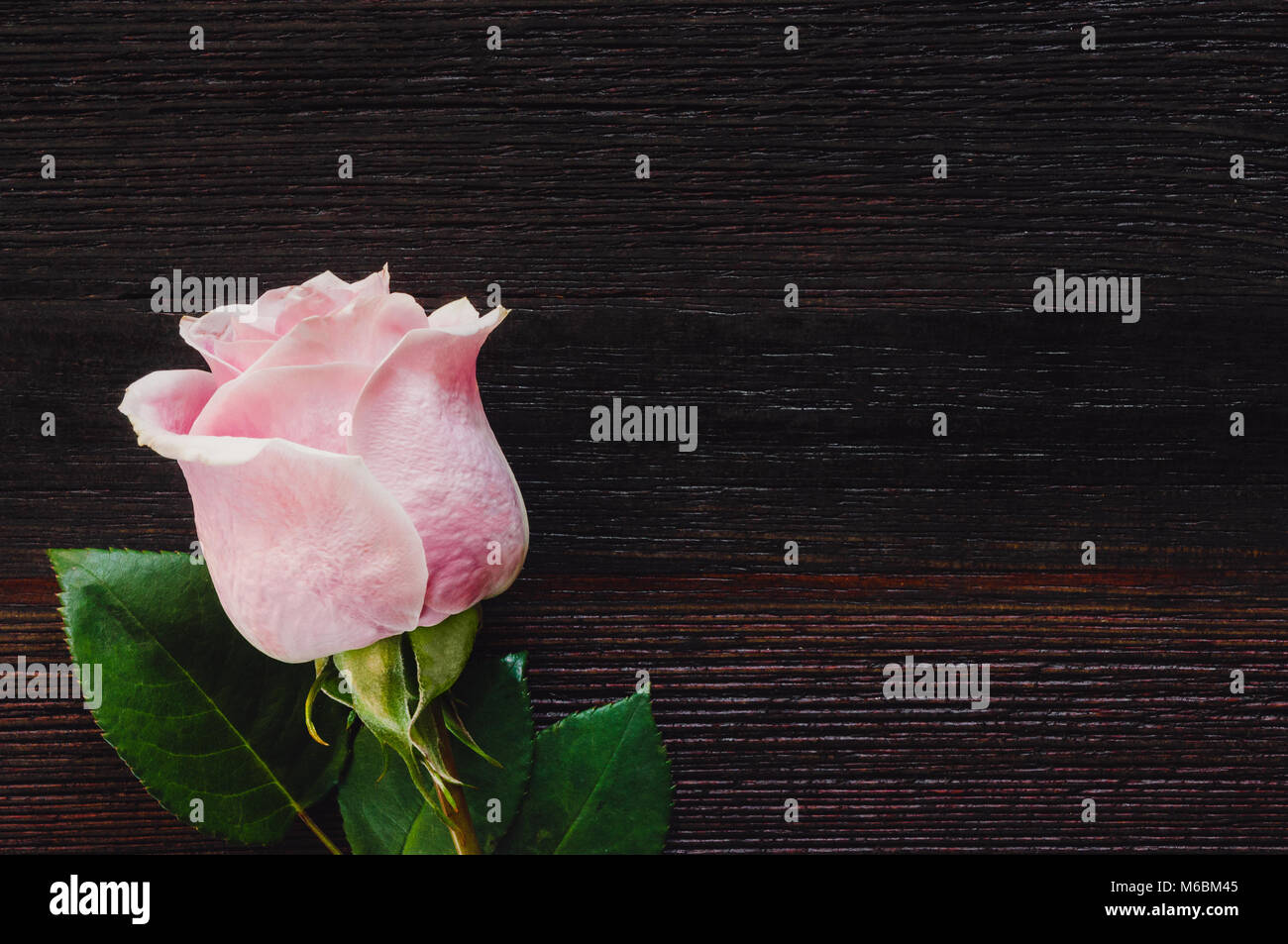 Single Pink Rose on Dark Table with Space for Copy - Stock Image