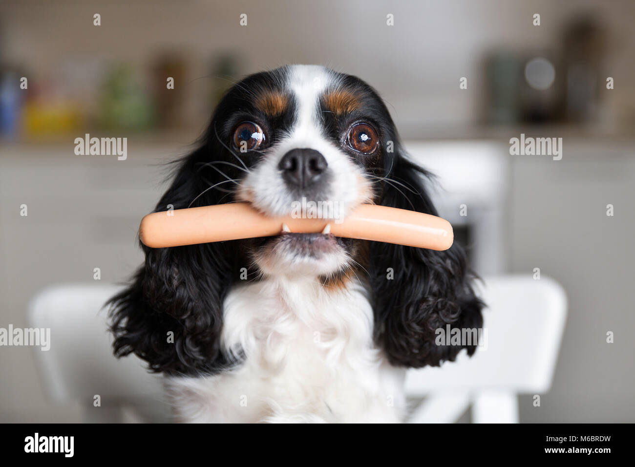 Funny dog with sausage in mouth Stock Photo
