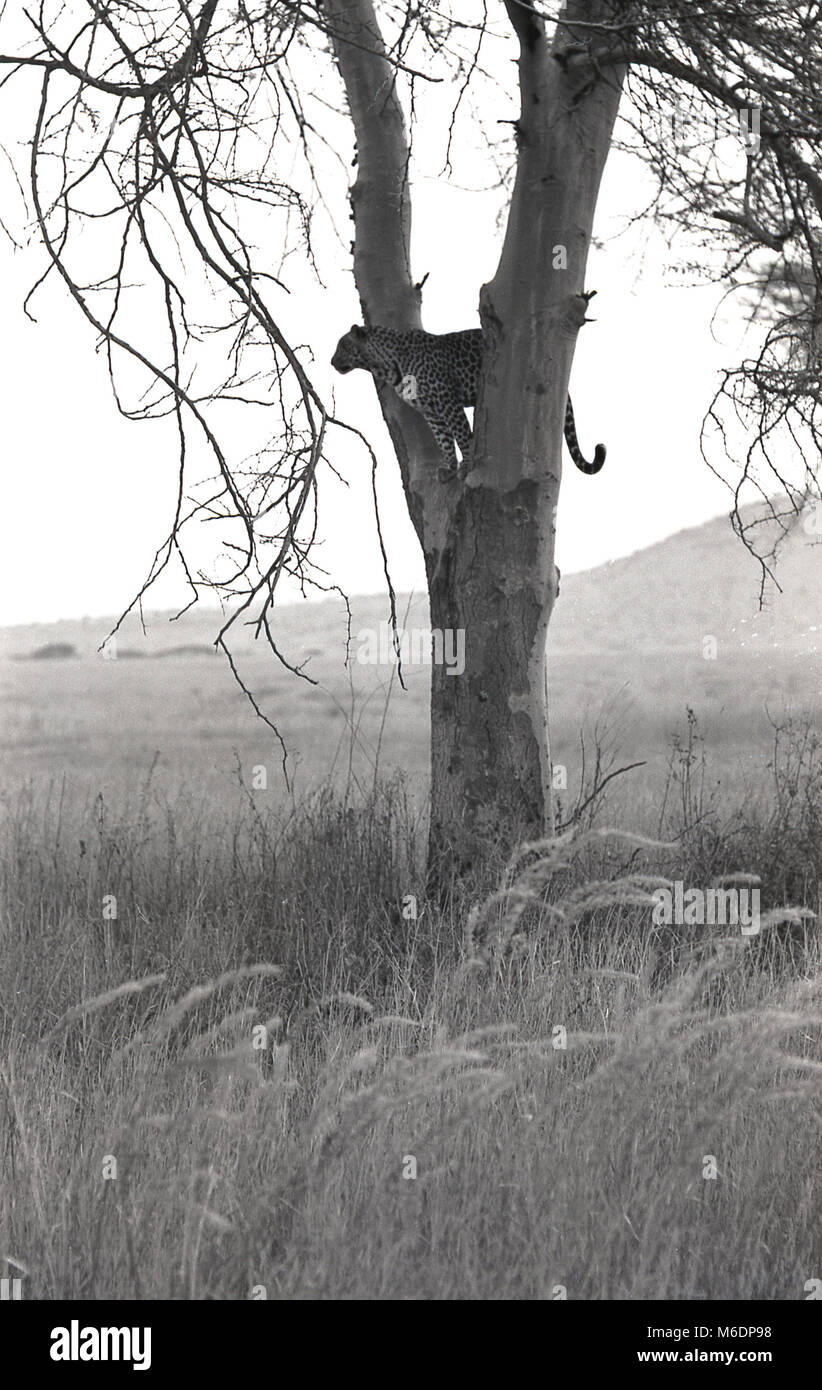 1970s, historical, Africa, a cheetah resting in a tree in open grassland. - Stock Image