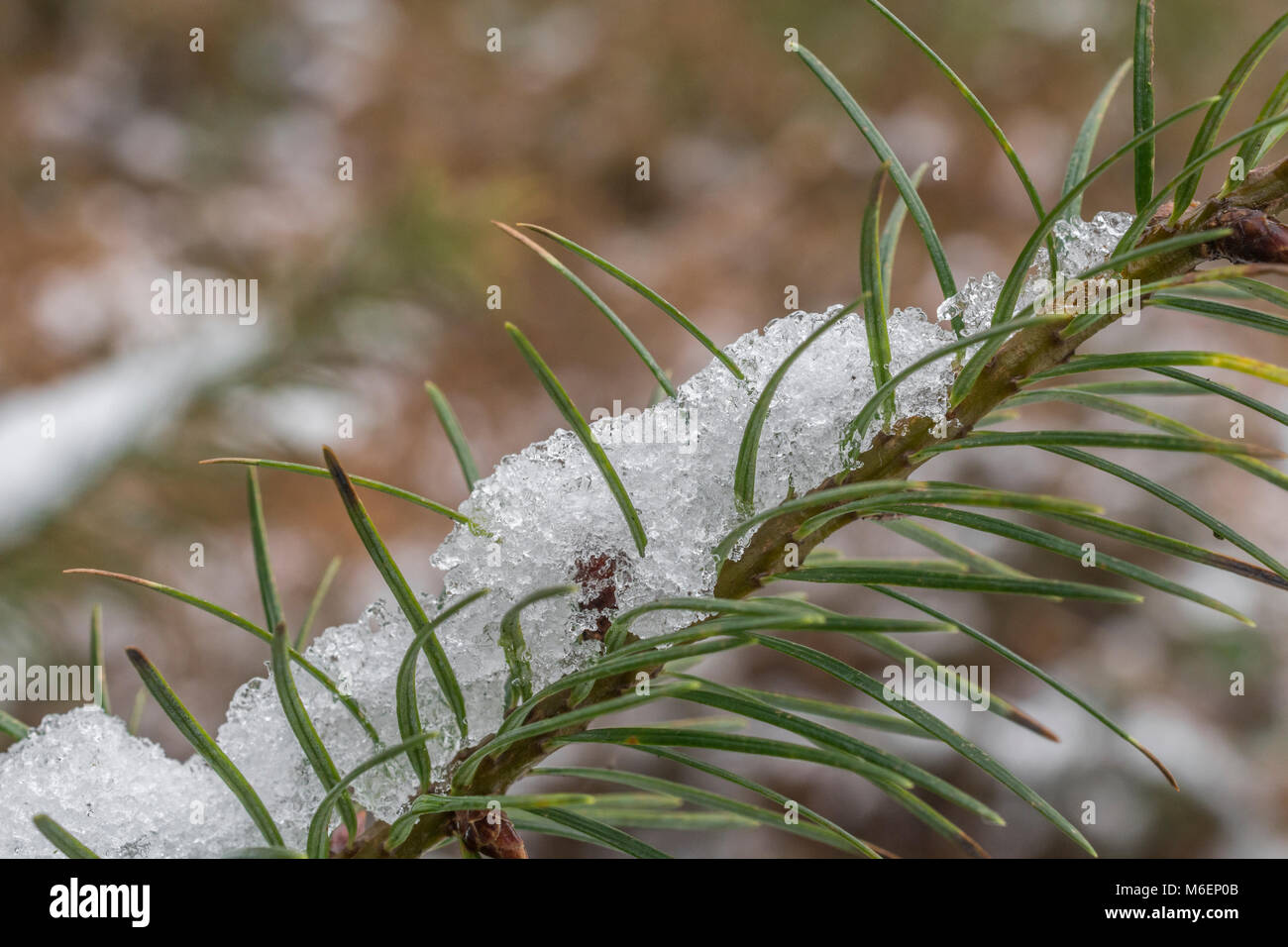 Close-up of pine or fir needles covered with snow. - Stock Image