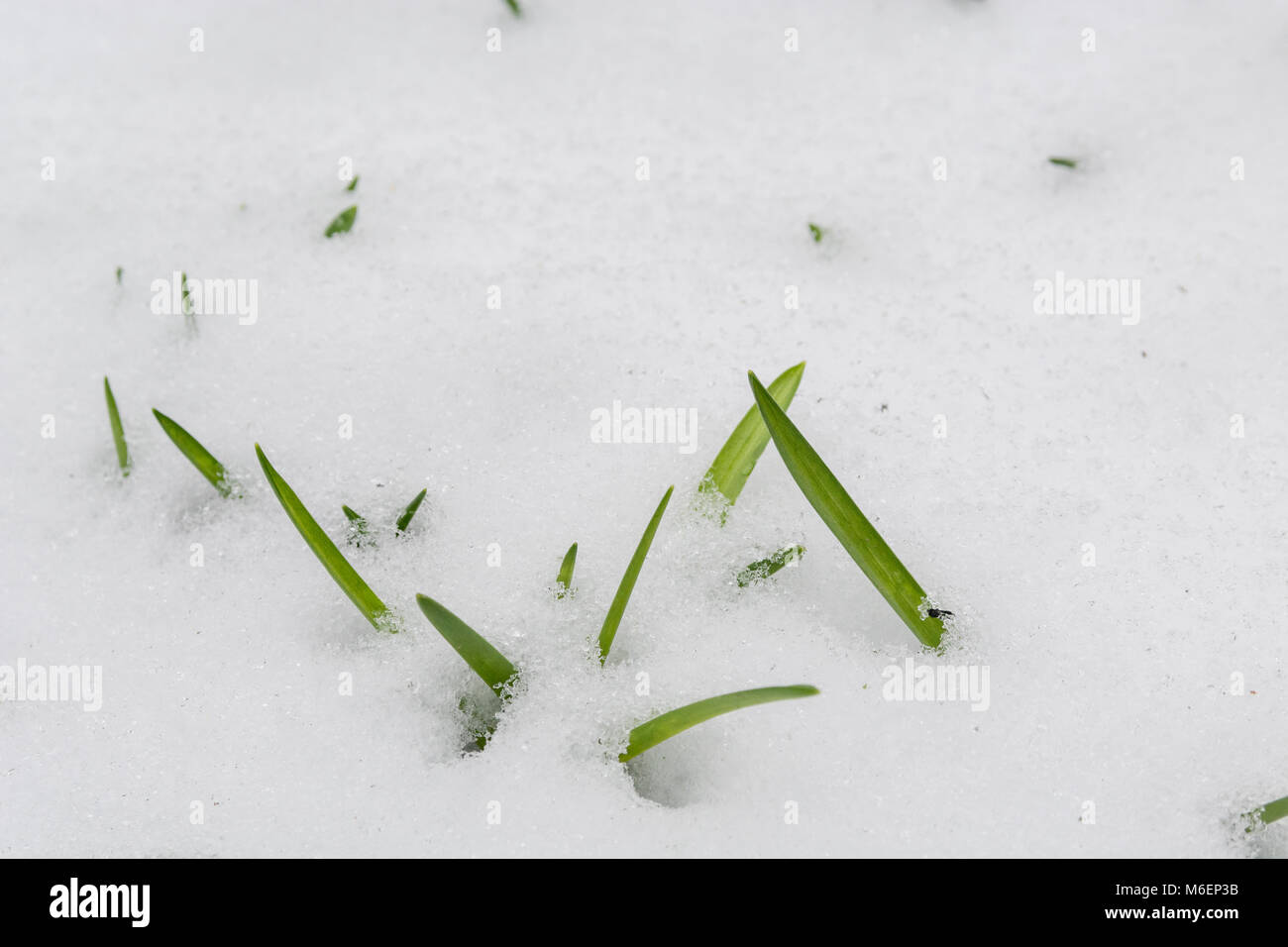 Snow covered Bluebell [Hyacinthoides non-scriptus] leaves during 2018 Beast from the East polar vortex snows which - Stock Image