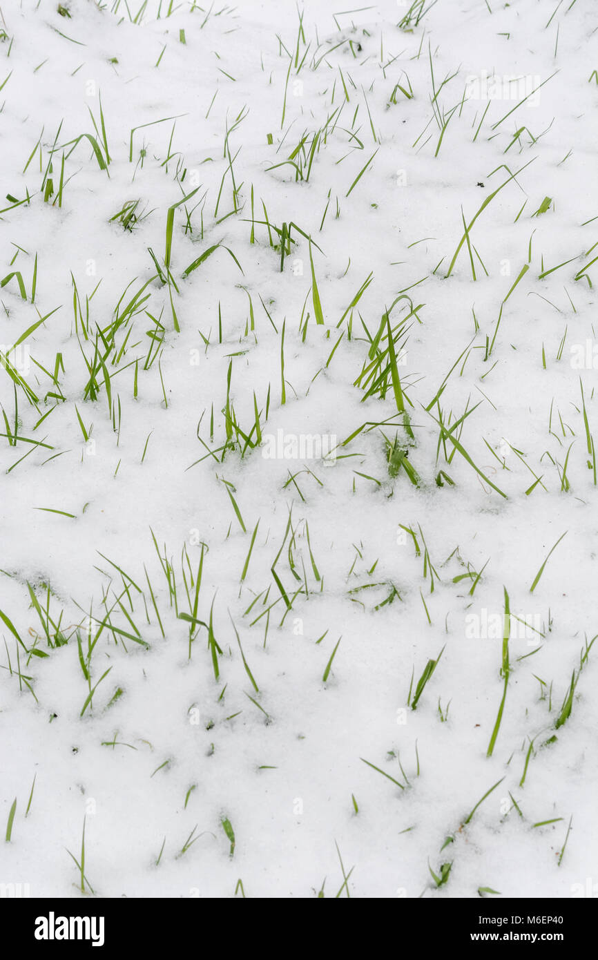 Snow covered leaves emerging through snow during the 2018 Beast from the East polar vortex snows which caused widespread - Stock Image