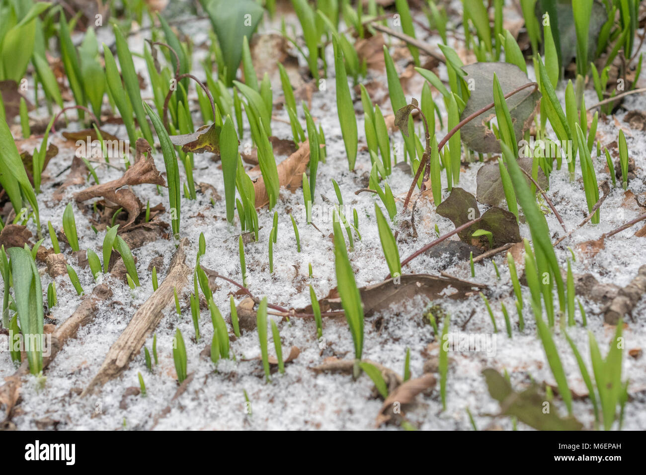 Snow covered Ramsons (Allium ursinum) / Wild Garlic leaves during the 2018 Beast from the East polar vortex  which - Stock Image