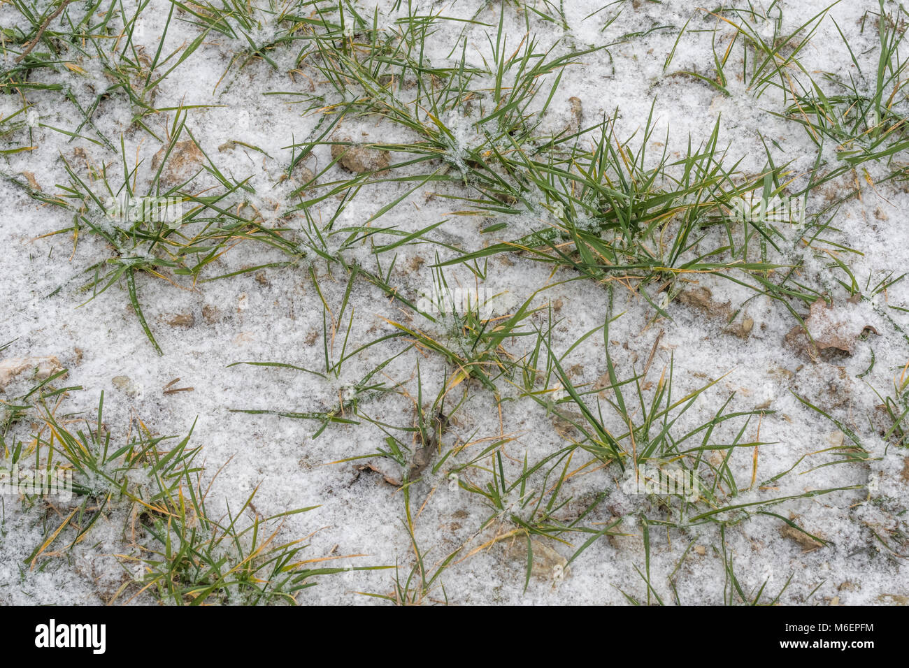 Snow covered winter wheat leaves during the 2018 Beast from the East polar vortex snow conditions which caused widespread - Stock Image