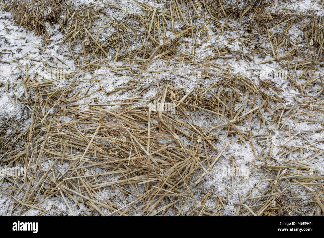 Snow covered strands of hay on a farmyard muck heap during a cold winter snap. - Stock Image