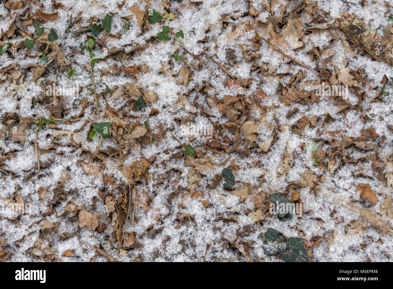 Orangy autumnal leaves covered by a light sprinkling of snow. - Stock Image