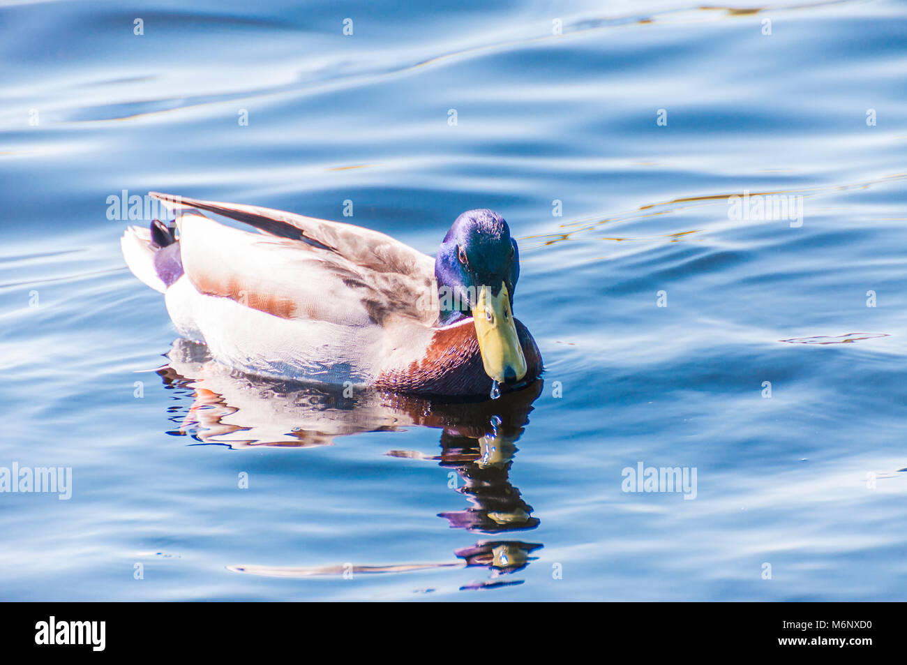 Animal themes. Duck swimming bird close-up shot in lake waters. - Stock Image
