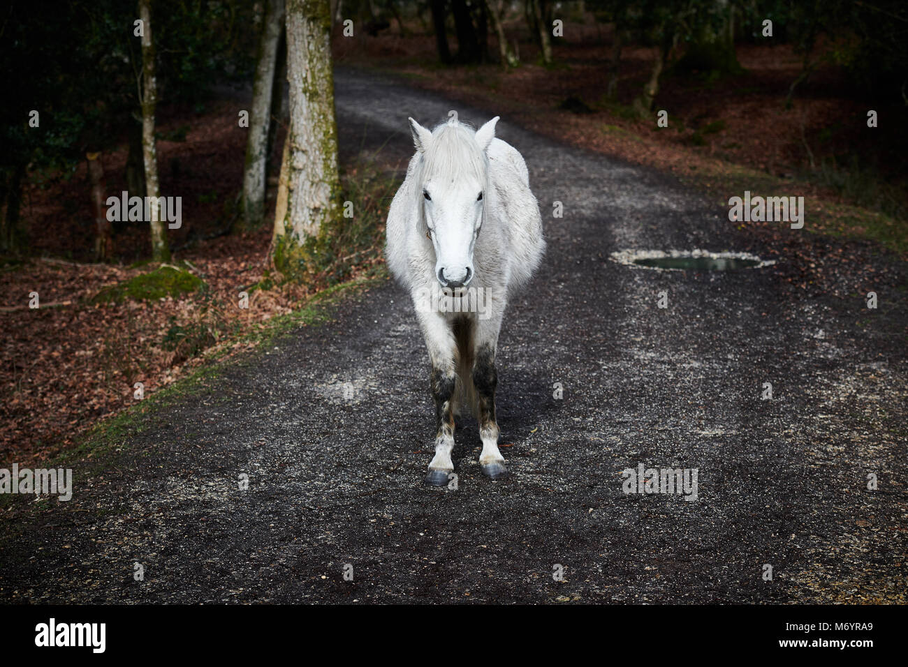 A White Horse standing head on in the New Forest. Contrasting heavily with a darker woodland background. - Stock Image