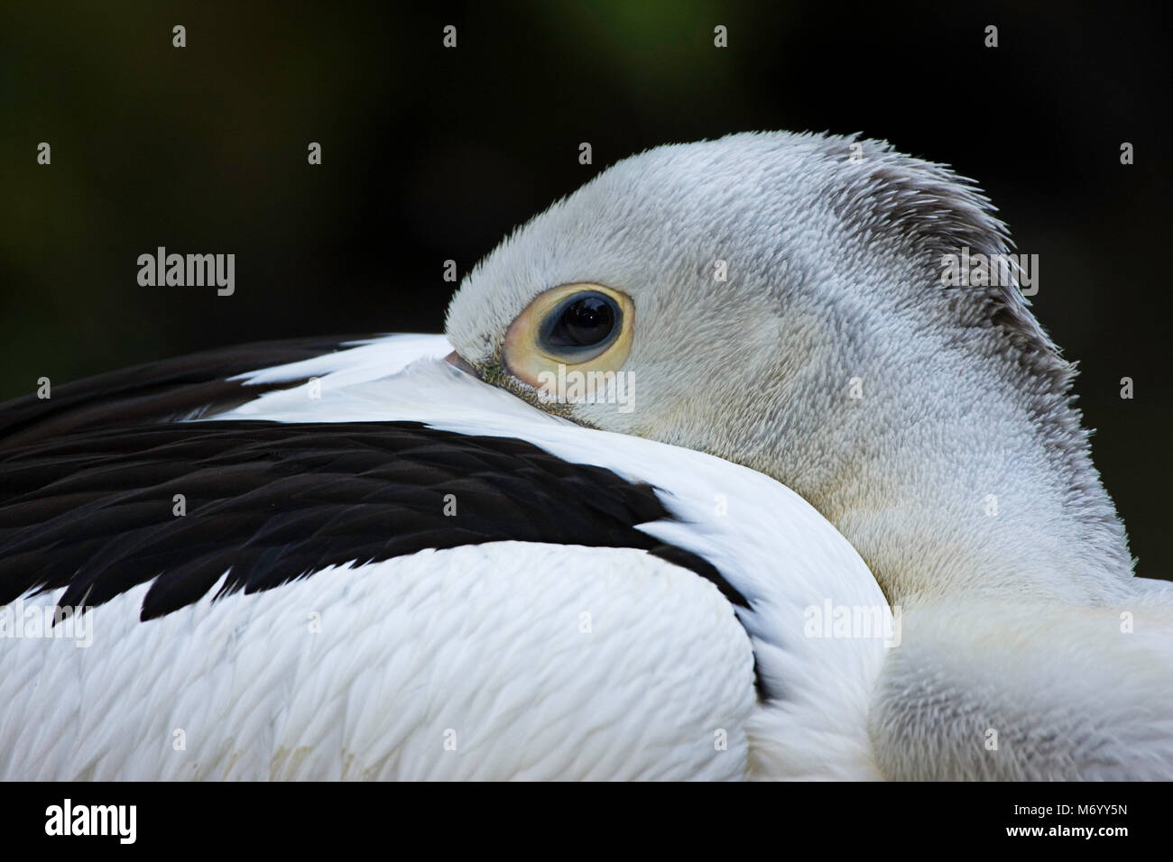 The white pelican, Pelecanus conspicillatus, is found in Australia, Irian Jaya and Indonesia, where this individual - Stock Image