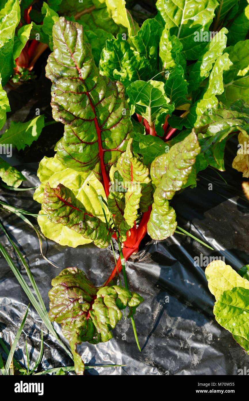 Growing farm fresh Swiss chard in black plastic as a weed/mulch barrier in field, in Wisconsin, USA - Stock Image