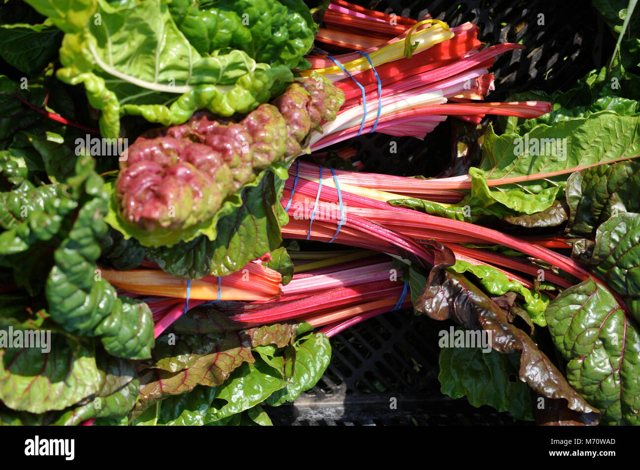 Farm fresh Swiss chard harvested and grouped with rubber bands, in Wisconsin, USA - Stock Image