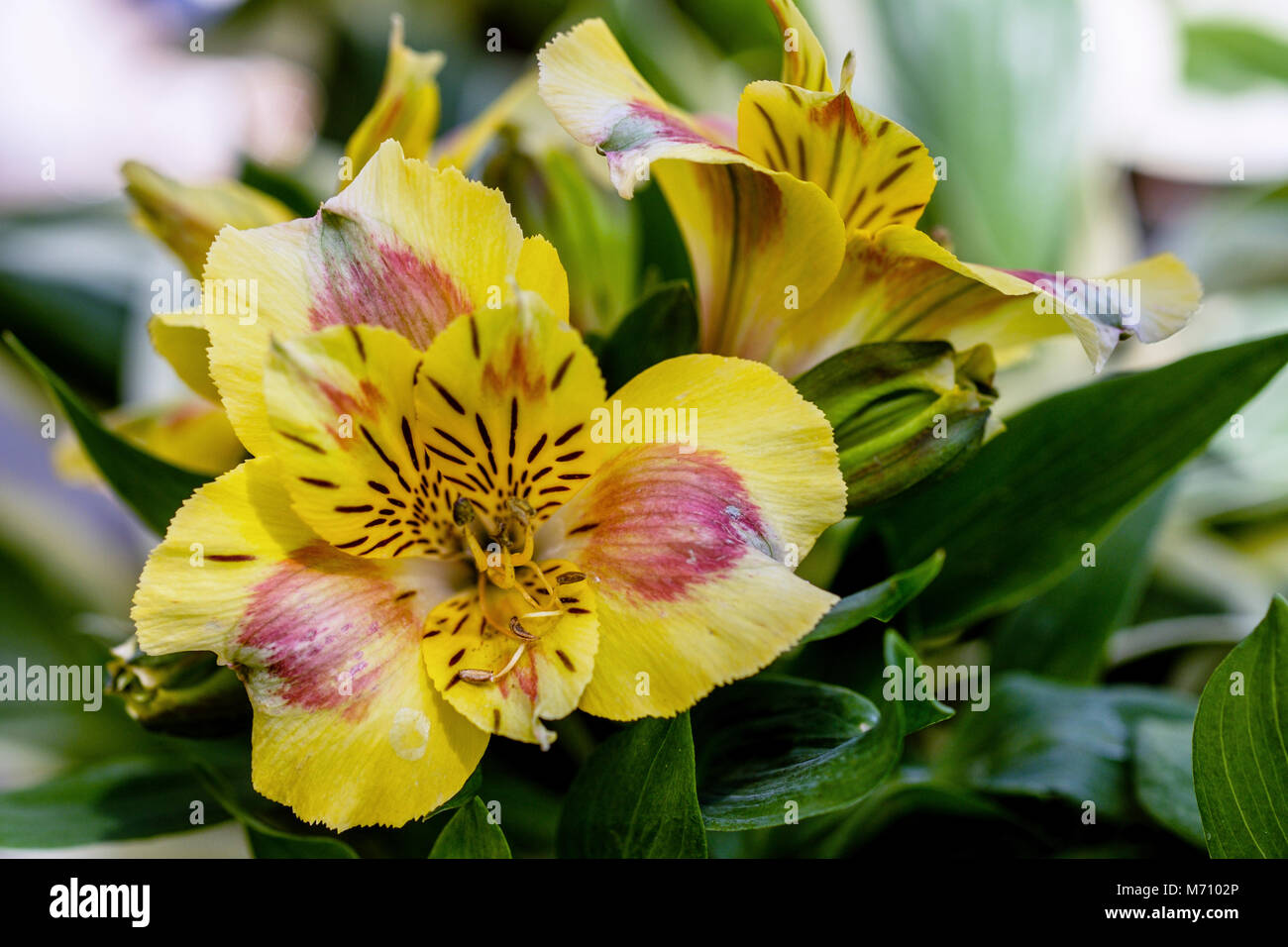 Rhododendron luteum or yellow azalea flower blossoms in full bloom. - Stock Image
