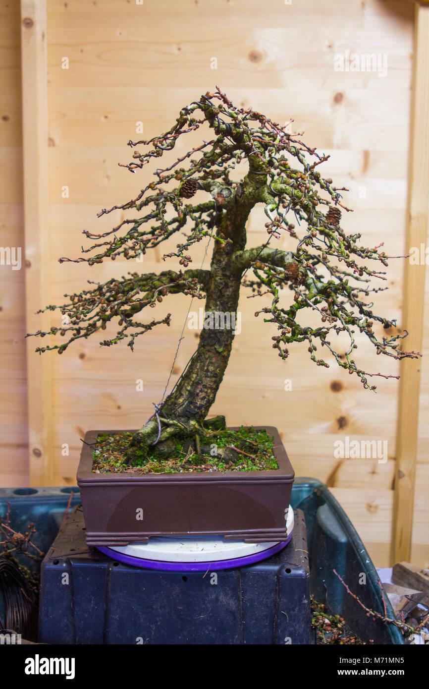 Incredible A Specimen Informal Upright Larix Kaempheri Larch Bonsai Following Wiring 101 Capemaxxcnl