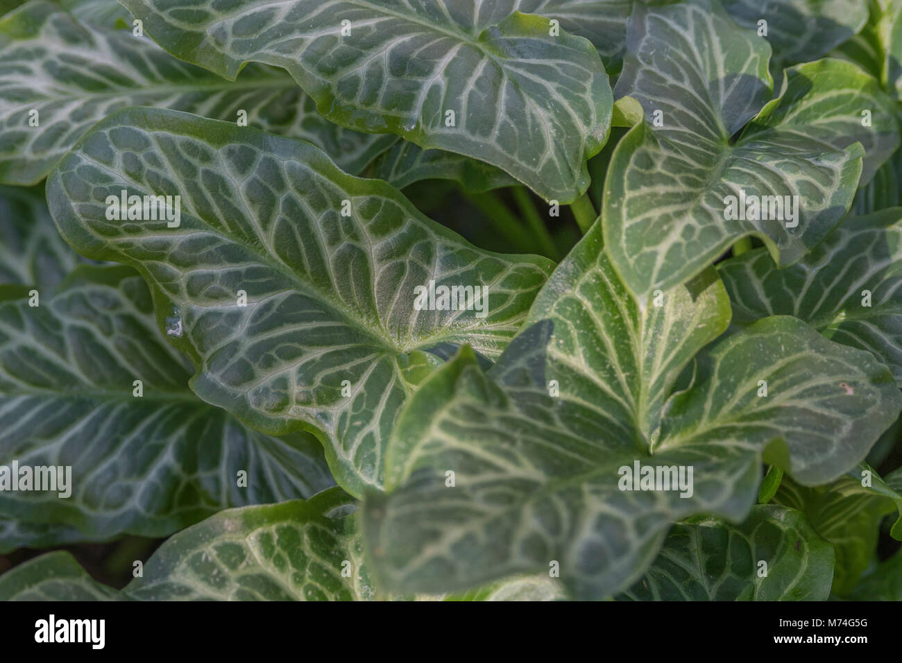 Variegated leaves / foliage of Arum italicum - Italian Lords and Ladies - a woodland and shade plant, and a relative - Stock Image