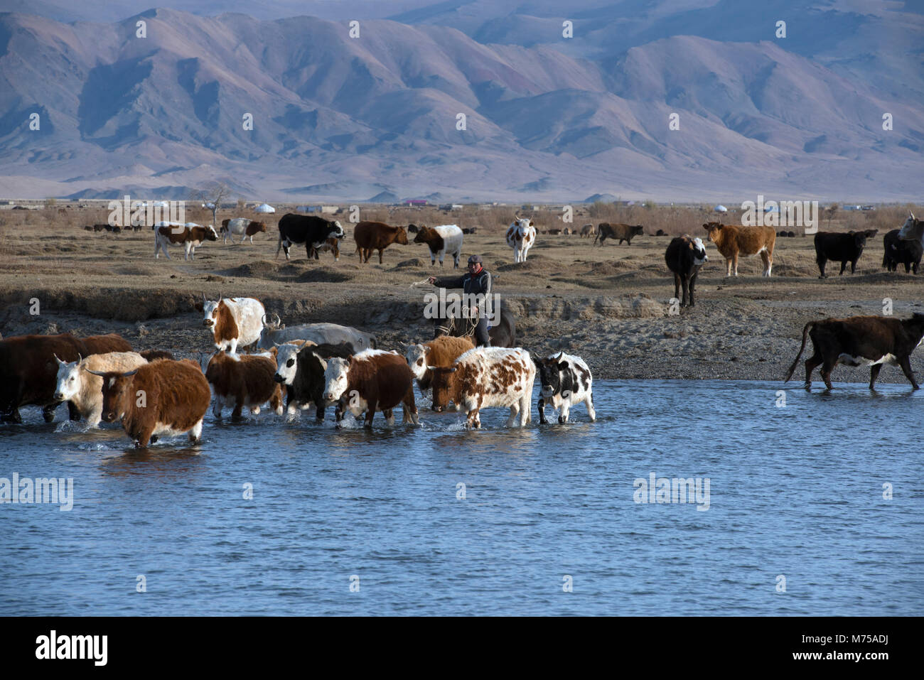 A nomadic Kazakh herder on horseback driving his herd of cattle across a river in the Altai Mountains, western Mongolia. - Stock Image