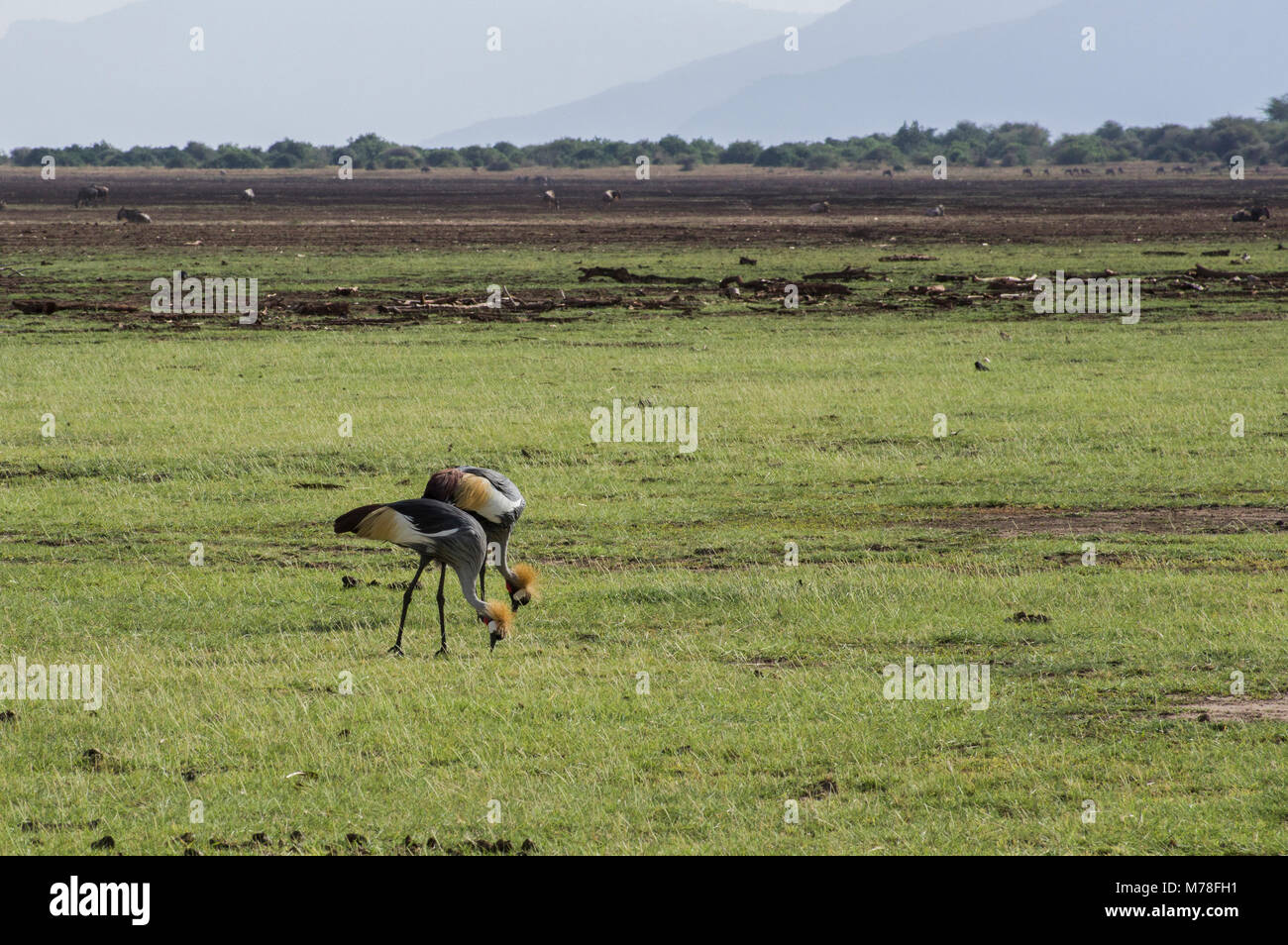 Two grey crowned cranes Balearica regulorum birds in the crane family of Gruidae eating together on the plains of - Stock Image