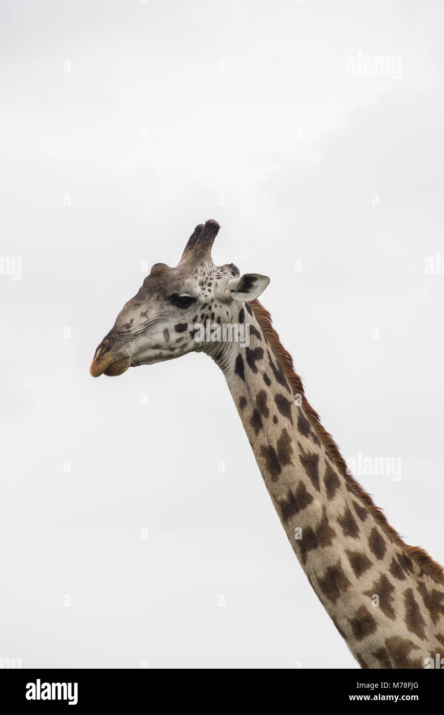 Masai giraffe giraffa camelopardalis tippelskirchi in the serengeti northern tanzania africa against a white overcast - Stock Image